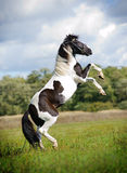 Paint Horse Rearing Royalty Free Stock Images