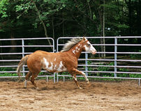 Paint Horse in Ring. A young male Paint Horse is exercised in a ring before heading out on the trail Royalty Free Stock Photos