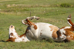 Paint Horse Rolling. Paint horse caught upside down while rolling in a pasture, check out the eye royalty free stock photography