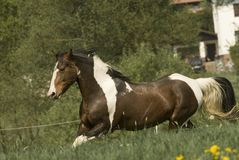 Paint horse on the run. Beatifull painthorse stallion with a skewbald coat on a fresh green meadow Royalty Free Stock Image