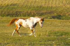 Paint horse running. Free in the pasture stock image