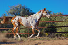 Paint Horse Running Stock Photos