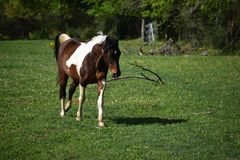 Paint Horse Running. Brown and white paint horse running in an open field Royalty Free Stock Photography
