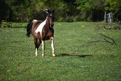 Paint Horse Running. Brown and white paint horse running in an open field stock photo