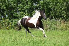 Paint horse running on pasturage Royalty Free Stock Image