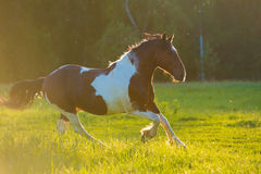 Paint horse runs gallop on freedom Royalty Free Stock Image