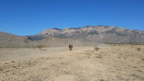 Paint Horse Runs at Mountain. A Palomino paint horse runs in front of a mountain Royalty Free Stock Image