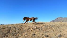 Paint Horse Runs on Ridge. A Palomino paint horse runs on a ridge Royalty Free Stock Photo