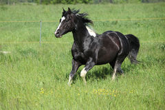 Paint horse stallion running on pasturage Stock Photo
