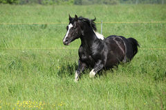 Paint horse stallion running on pasturage Royalty Free Stock Image