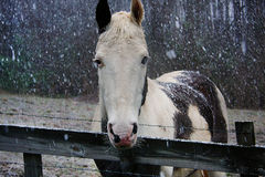 Paint Horse Standing In Snow. White and brown paint horse in the snow with wood fence Stock Images