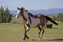 Paint Horse Trotting Stock Photography