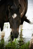 Paint horse in water Royalty Free Stock Photo