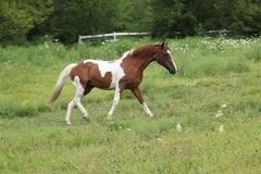 Paint Mare running. Paint Mare in a fenced in grassy field, running to the right Royalty Free Stock Image