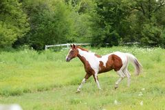 Paint Mare. Running in the grass, facing left Royalty Free Stock Photo