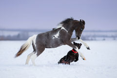 Paint miniature horse playing with a dog on snow field. Winter background Stock Images