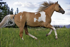 Paint Palomino Stallion Royalty Free Stock Photo