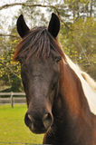Paint Horse. Paint or Pinto horse headshot Stock Photography