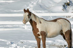 A Paint Quarter Horse in Winter Pasture. The American Quarter Horse is an American breed of horse that excels at sprinting short distances. Its name came from stock images