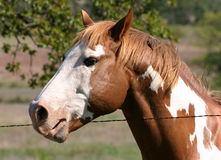 Paint Stallion Royalty Free Stock Photography