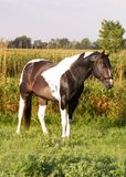 Paint stallion in meadow. Paint stallion in morning sun Royalty Free Stock Images