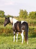 Paint stallion in meadow. Paint stallion in morning sunshine Stock Photos