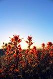 Paintbrush Индии, La Jolla, Калифорния Стоковая Фотография RF