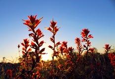 Paintbrush Индии, La Jolla, Калифорния Стоковое Изображение RF