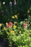 Paintbrush, Castilleja Spp., Near Wonderland Trail, Mt. Rainier National Park, Washington State, Pacific Northwest. Lupine, Saffire Blue Jewels, cascade royalty free stock photos