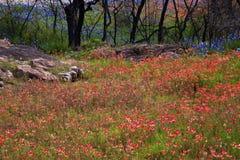 Paintbrush kwiaty Zakrywają zbocze atramentu stanu Jeziornym parkiem w Teksas zdjęcia stock