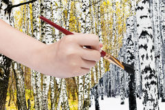 Paintbrush paints black birch trunk in winter Royalty Free Stock Image