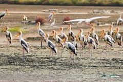 Painted鹳大趟水者鸟群与黄色额嘴的变粉红色l 免版税库存照片