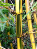 Painted Bamboo Royalty Free Stock Images