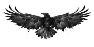 Painted bird crow front on a white background stock image