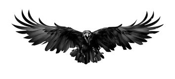The painted bird is a Raven in front on a white background royalty free stock images