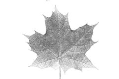 Painted black pencil maple leaf Stock Images