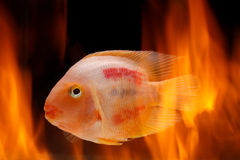 Painted blood parrot cichlids (Cichlasoma sp.) in fire Royalty Free Stock Photography