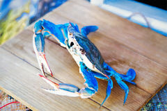 Painted Blue Crab From Maryland USA Royalty Free Stock Photos