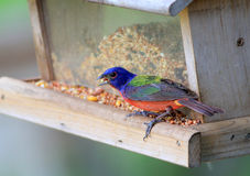 Painted Bunting on Feeder Royalty Free Stock Photography