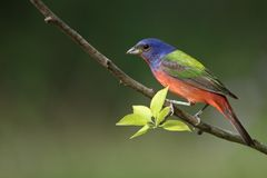 Painted Bunting (male) Stock Photography