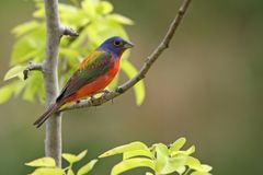 Painted Bunting (male) Stock Images