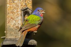 Painted Bunting Stock Photography