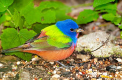 Painted Bunting - Male. Southern Texas Stock Photography