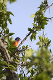 Painted Bunting, Passerina ciris Royalty Free Stock Photography