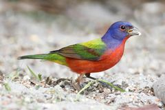 Painted Bunting (Passerina ciris) Stock Photos