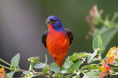 Painted Bunting (Passerina ciris) Stock Images
