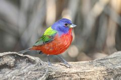 Painted Bunting (Passerina ciris) Royalty Free Stock Images