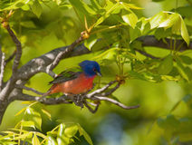Painted Bunting, Passerina ciris Stock Photos