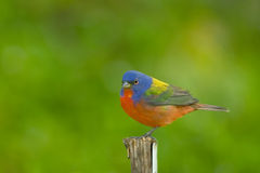 A Painted Bunting perched Stock Images