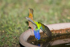 A painted Bunting slips Royalty Free Stock Photo